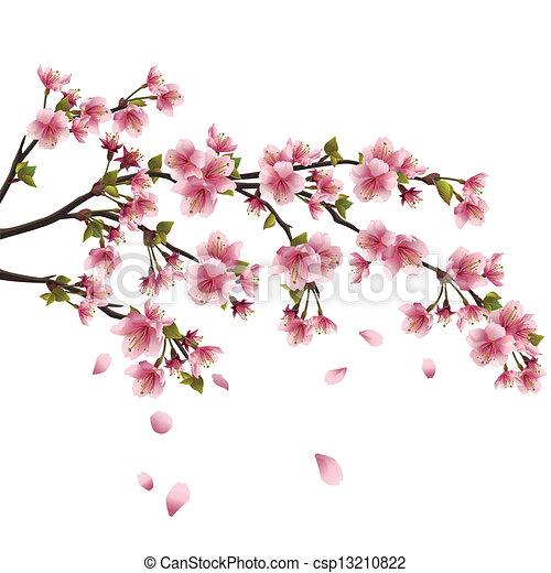 realistiske, blomstre, kirsebær, flyve, -, japansk, træ, isoleret, kronblade, sakura, baggrund, hvid - csp13210822